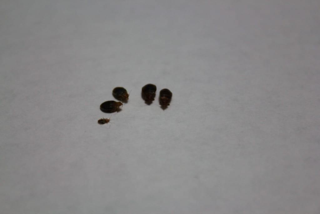 Board Certified Entomologist In Kansas City Bedbugs Bite
