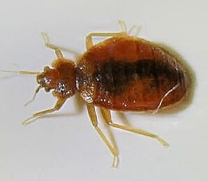 bedbug image 4 by jeff preece,bce