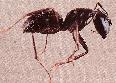 carpenter ants in kansas city
